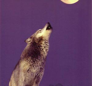 2400-1339-Lupo-grigio-che-ulula-alla-luna-Posters